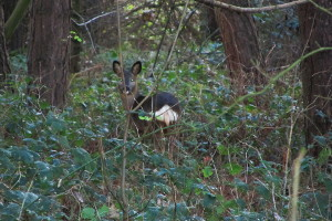 A deer grazes in the wood